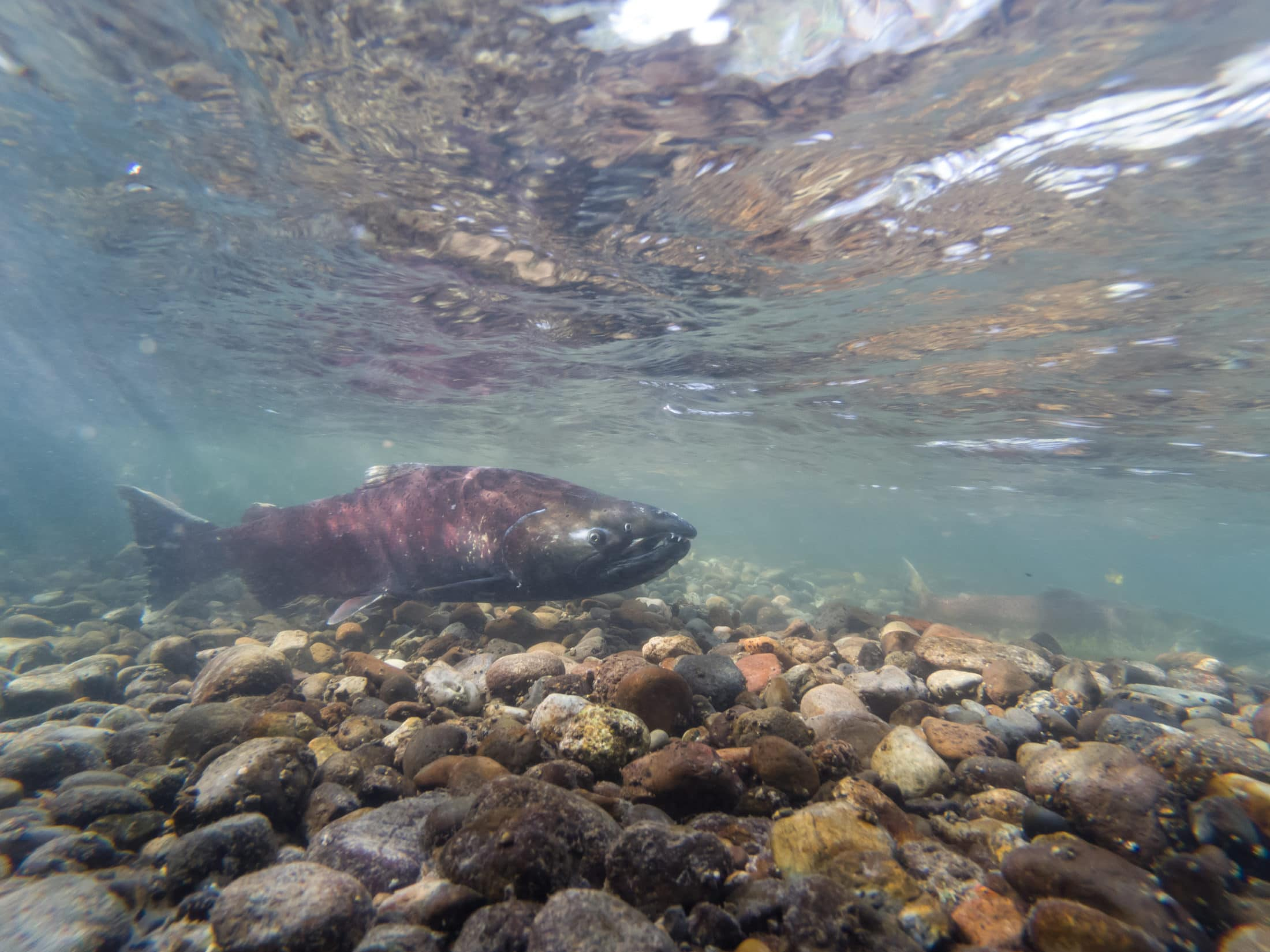 Yukon River Chinook salmon count