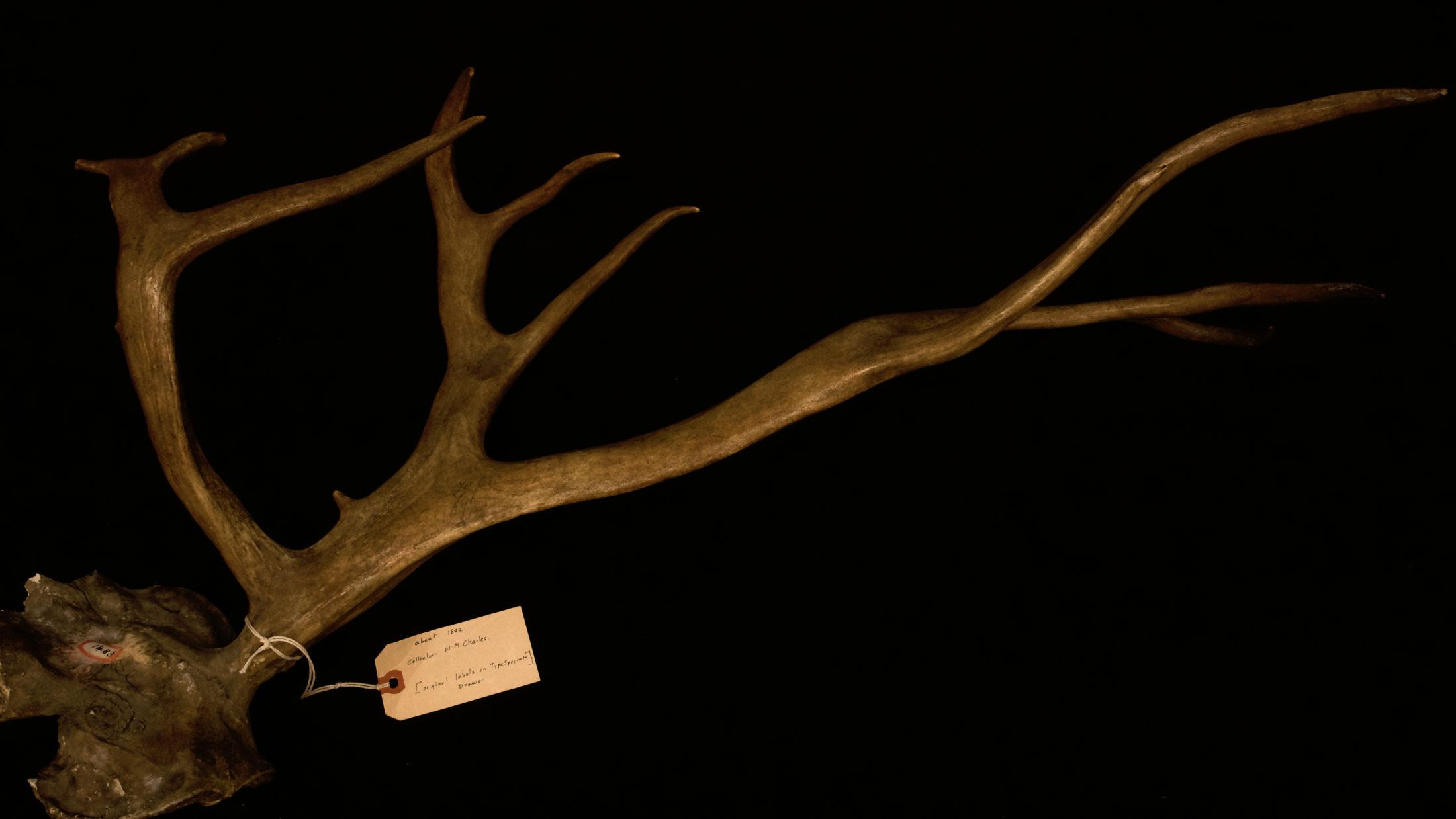 Dawson caribou specimen Royal BC Museum