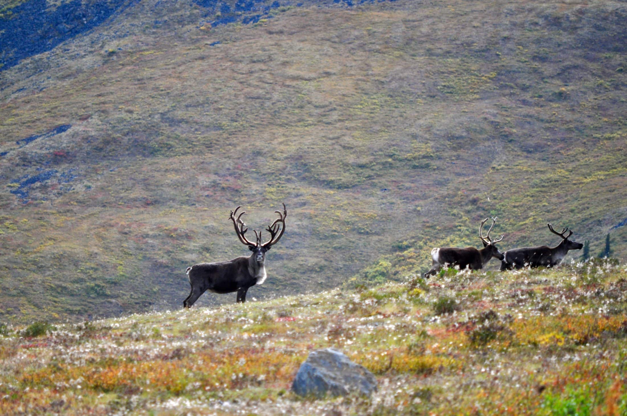 Yukon Fortymile caribou herd permit hunt