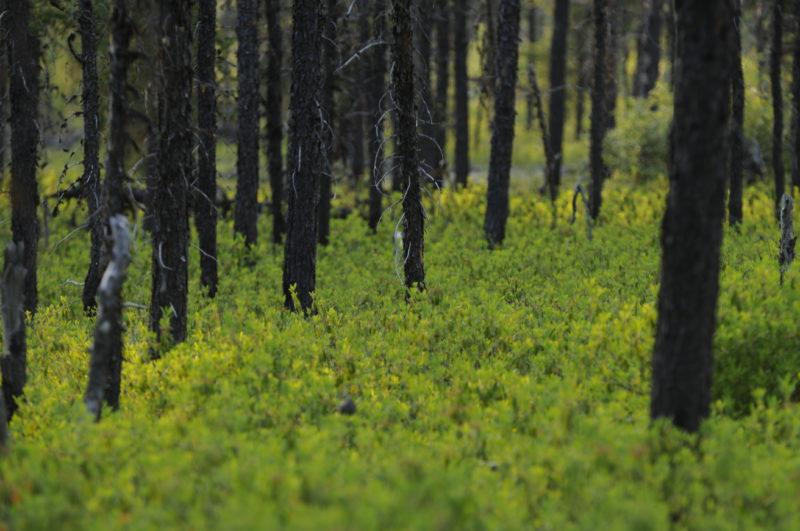 Broadback Forest