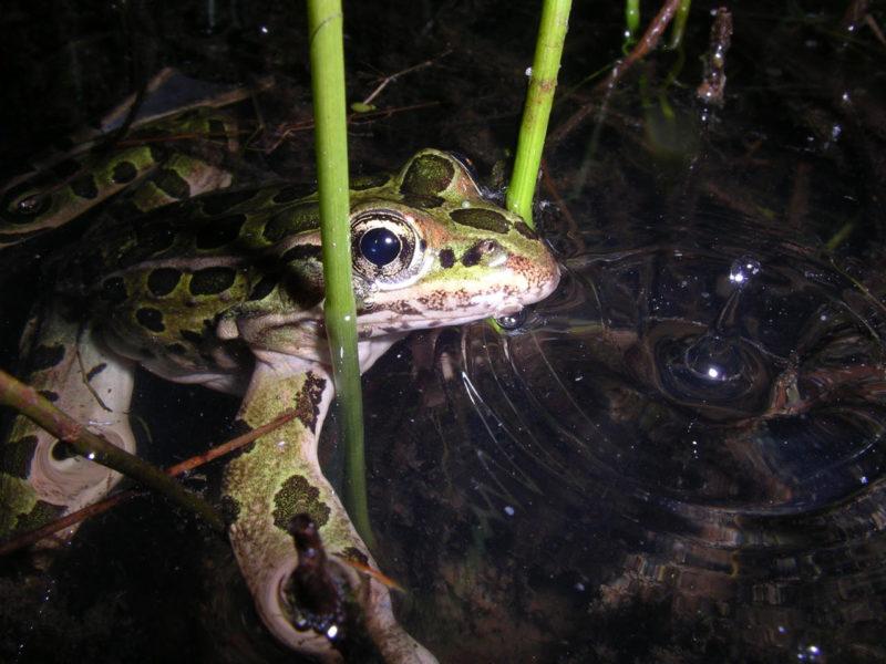 Northern leopard frog.