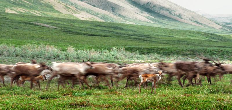 Arctic National Wildlife Refuge caribou Yukon Alaska