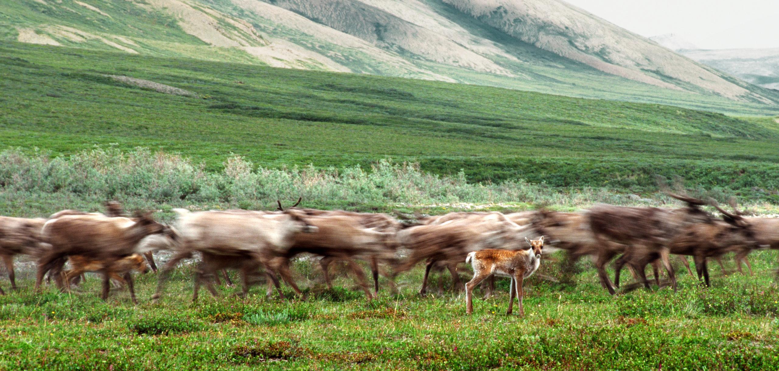 Porcupine caribou migration - Ken Madsen
