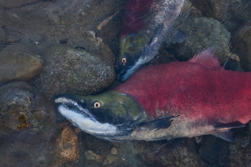 Sockeye salmon Fraser River B.C.