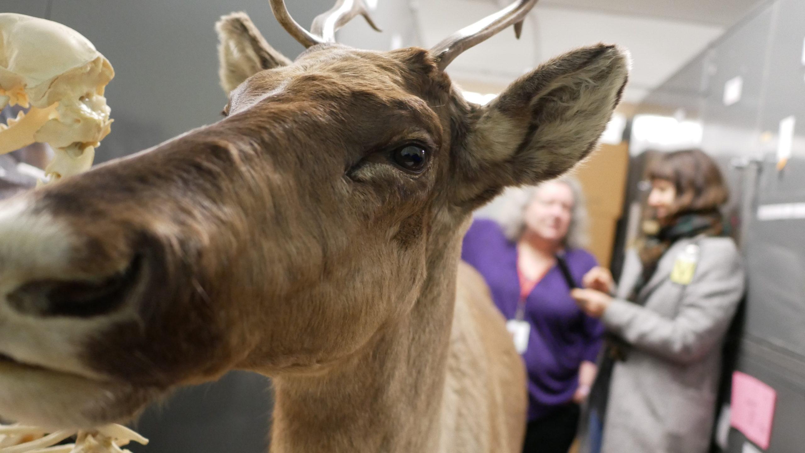 Stuffed caribou Royal BC Museum