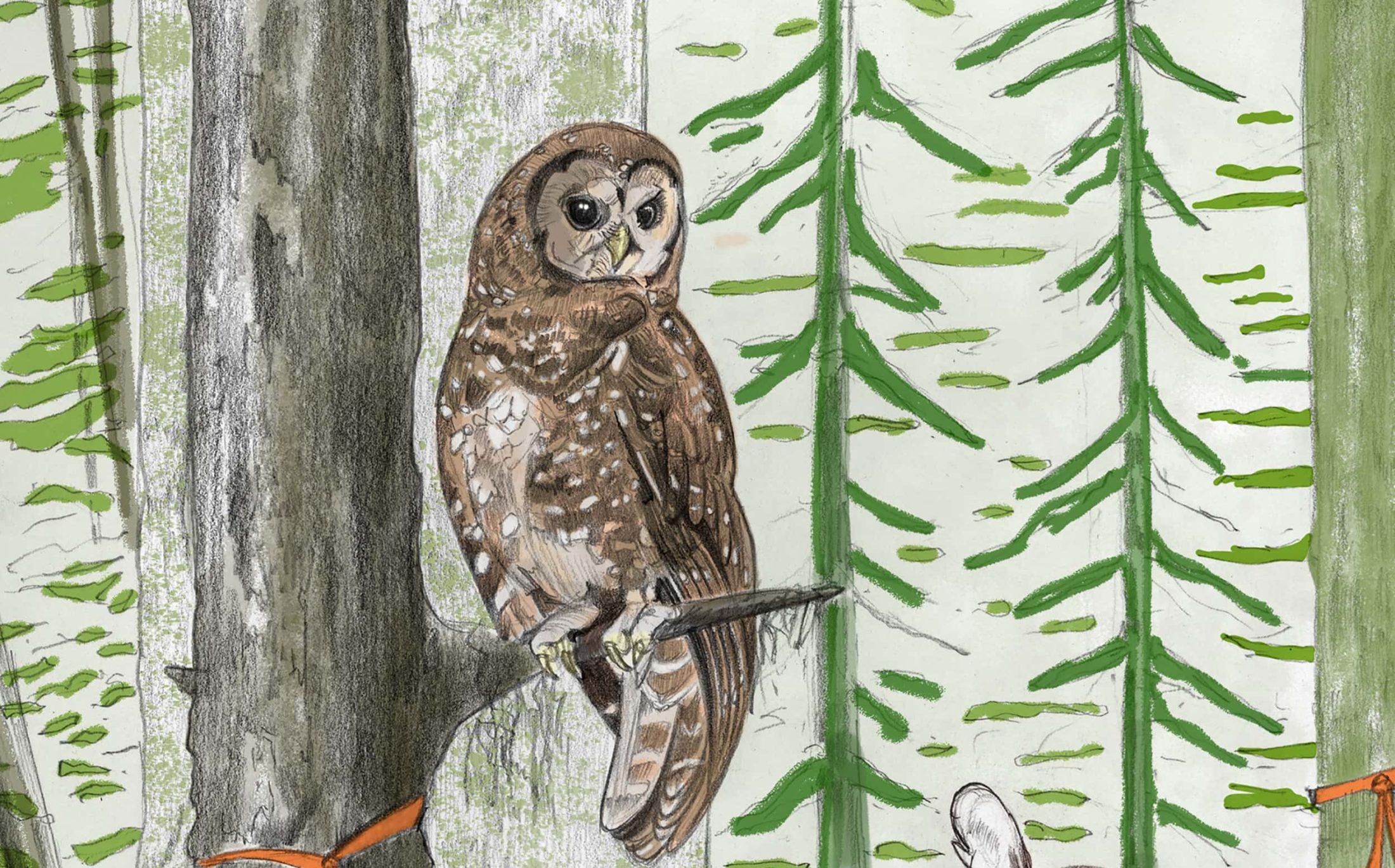 Spotted owl illustration