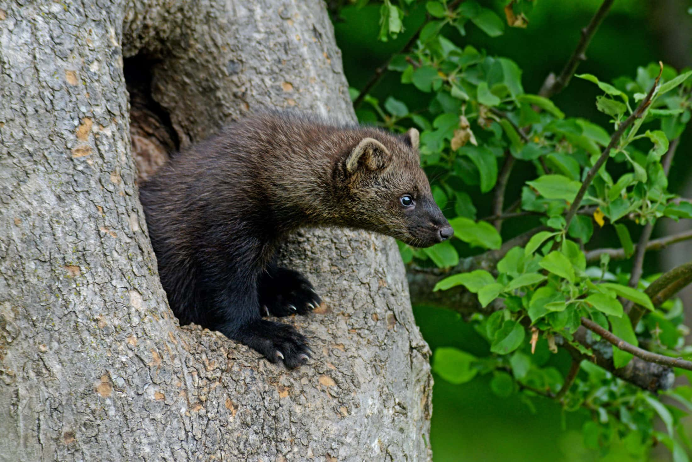 Fisher in tree