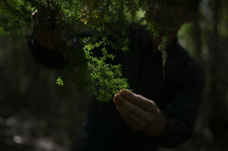 Hemlock tree needles