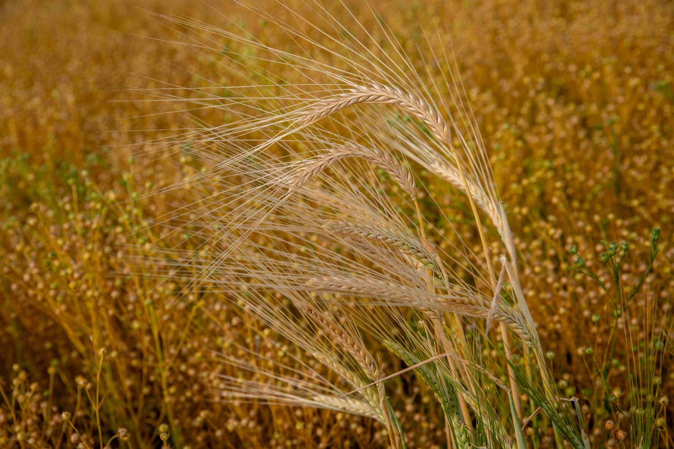 Barley and flax