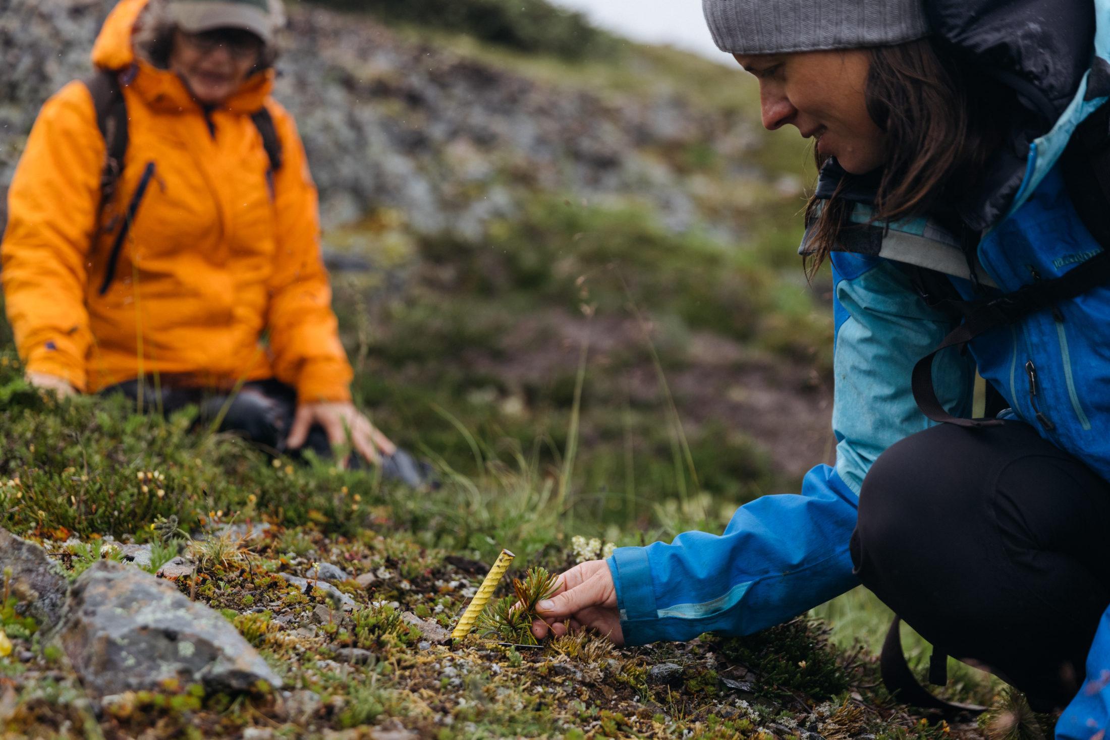 Whitebark pine seedling
