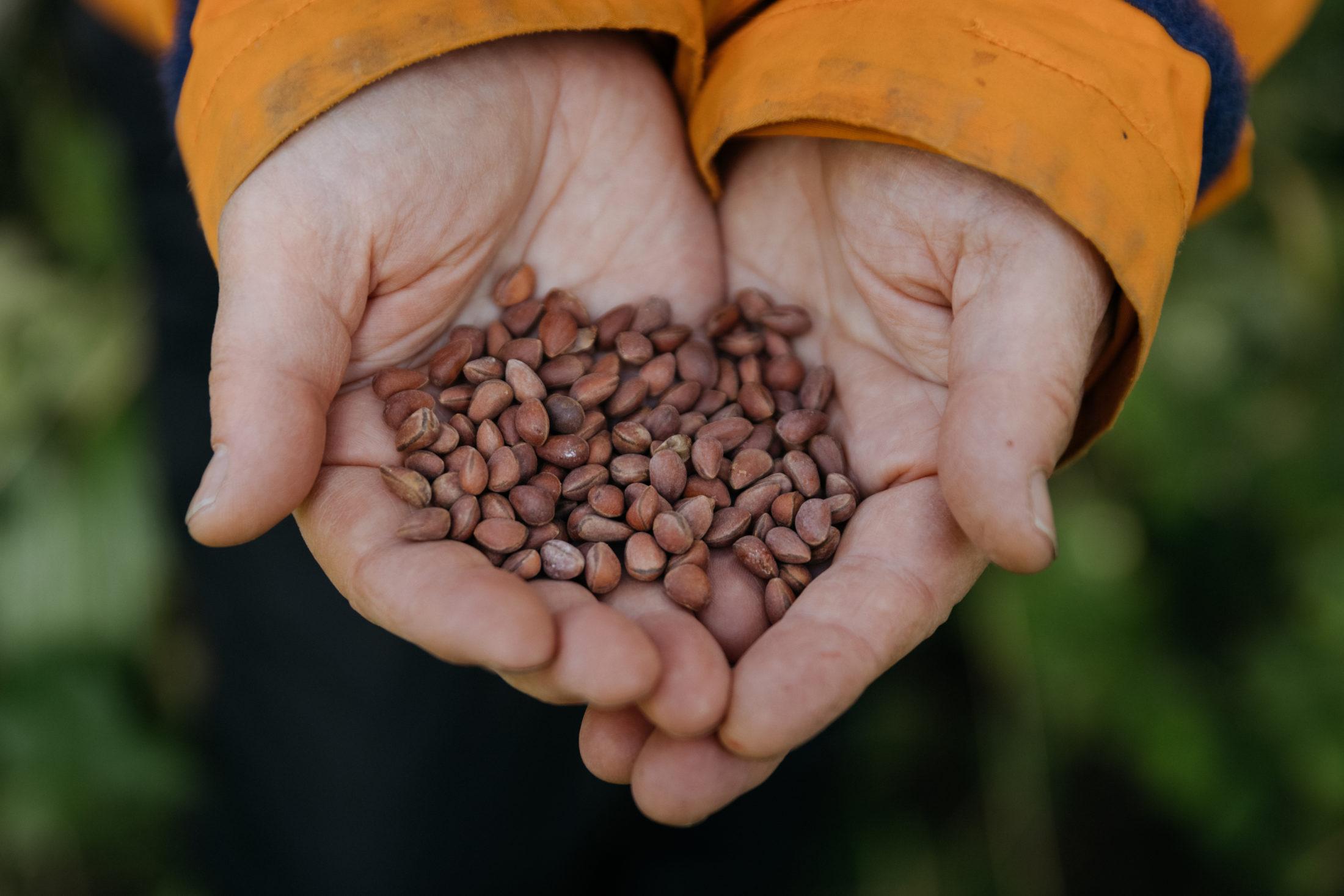 Sybille Haeussler holds whitebark pine seeds
