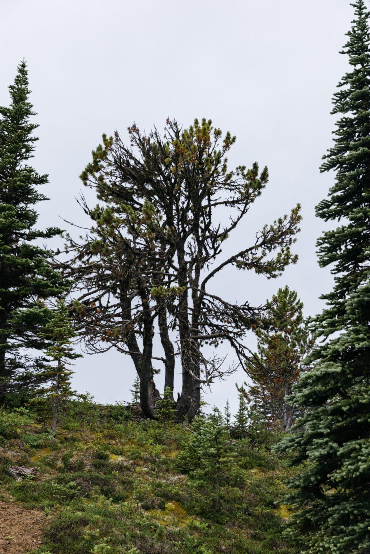 Whitebark single tree