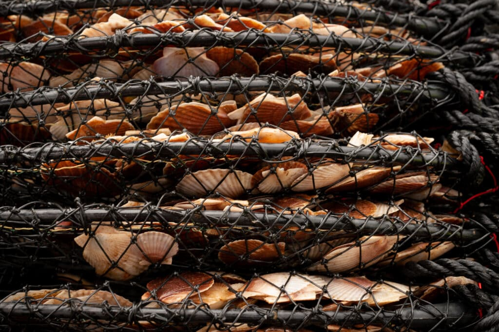 Young scallops in collapsed lantern net