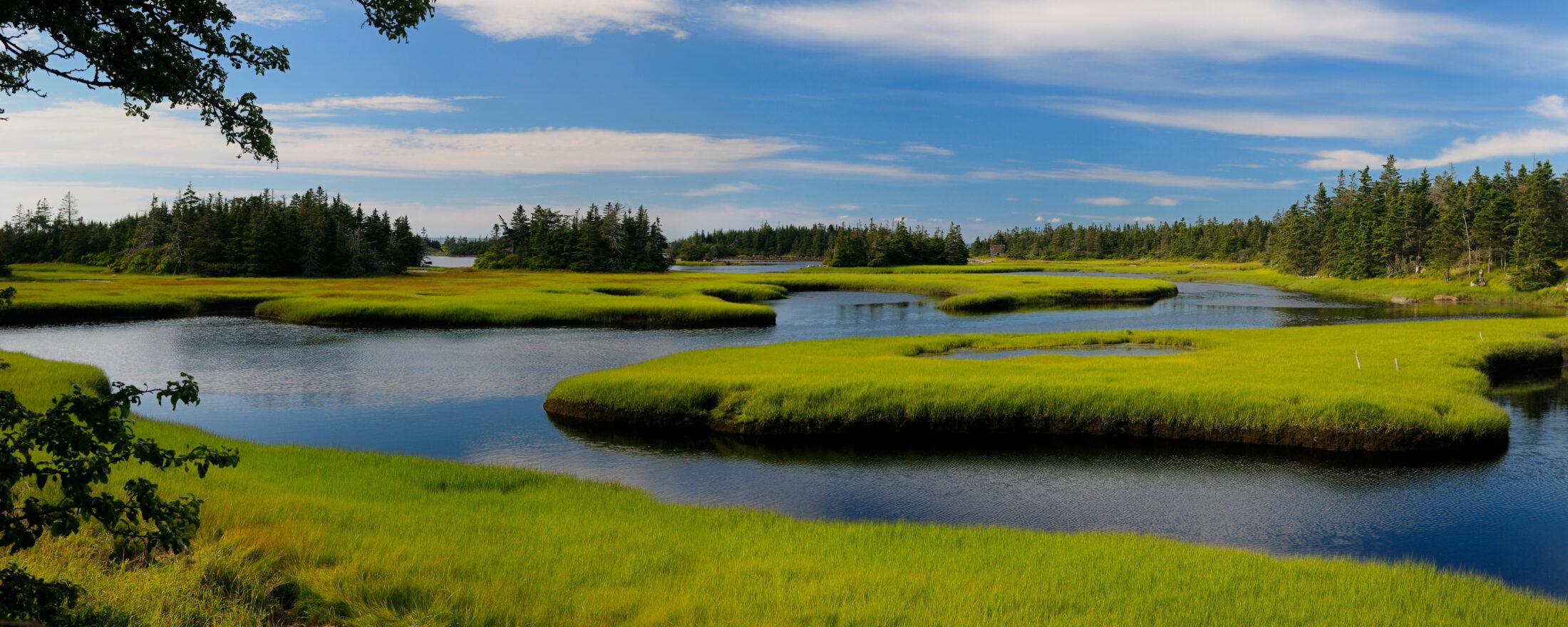 Salt marsh cordgrass
