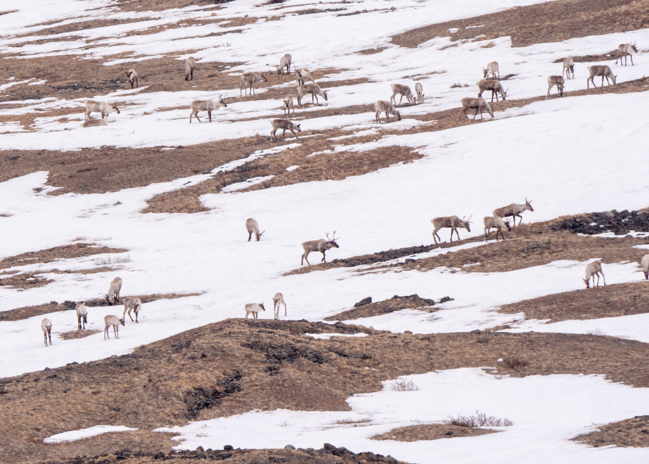 Caribou in Tahltan territory