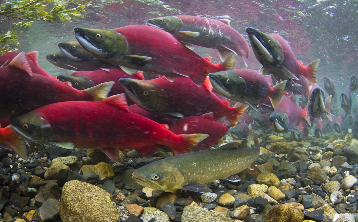 Sockeye salmon and dolly varden
