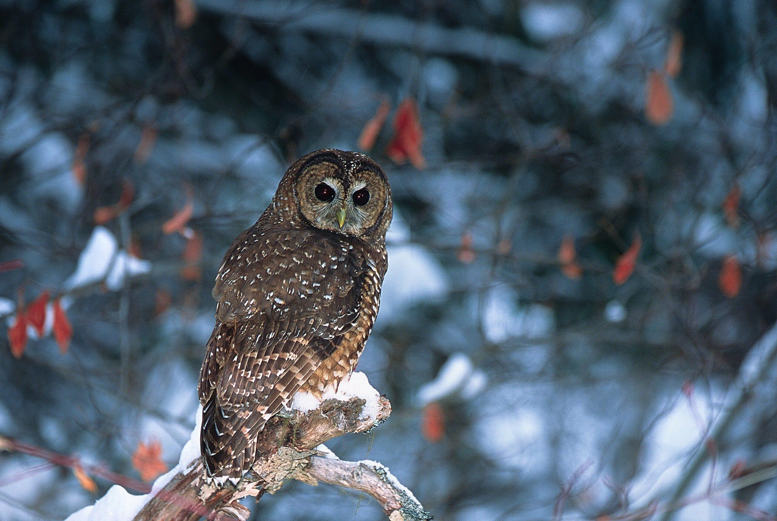 Spotted Owl Logging BC Jared Hobbs