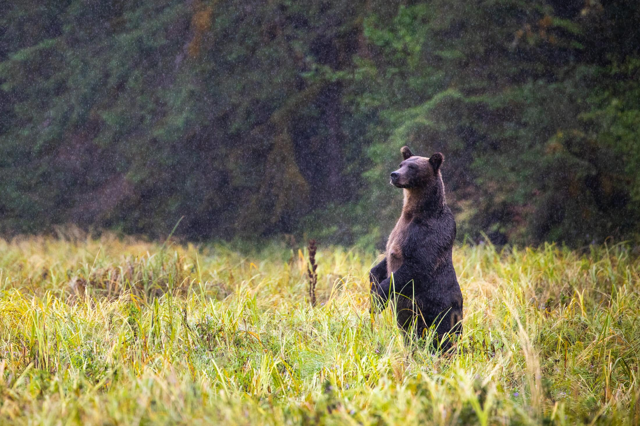 Great-Bear-Rainforest-Grizzly-3