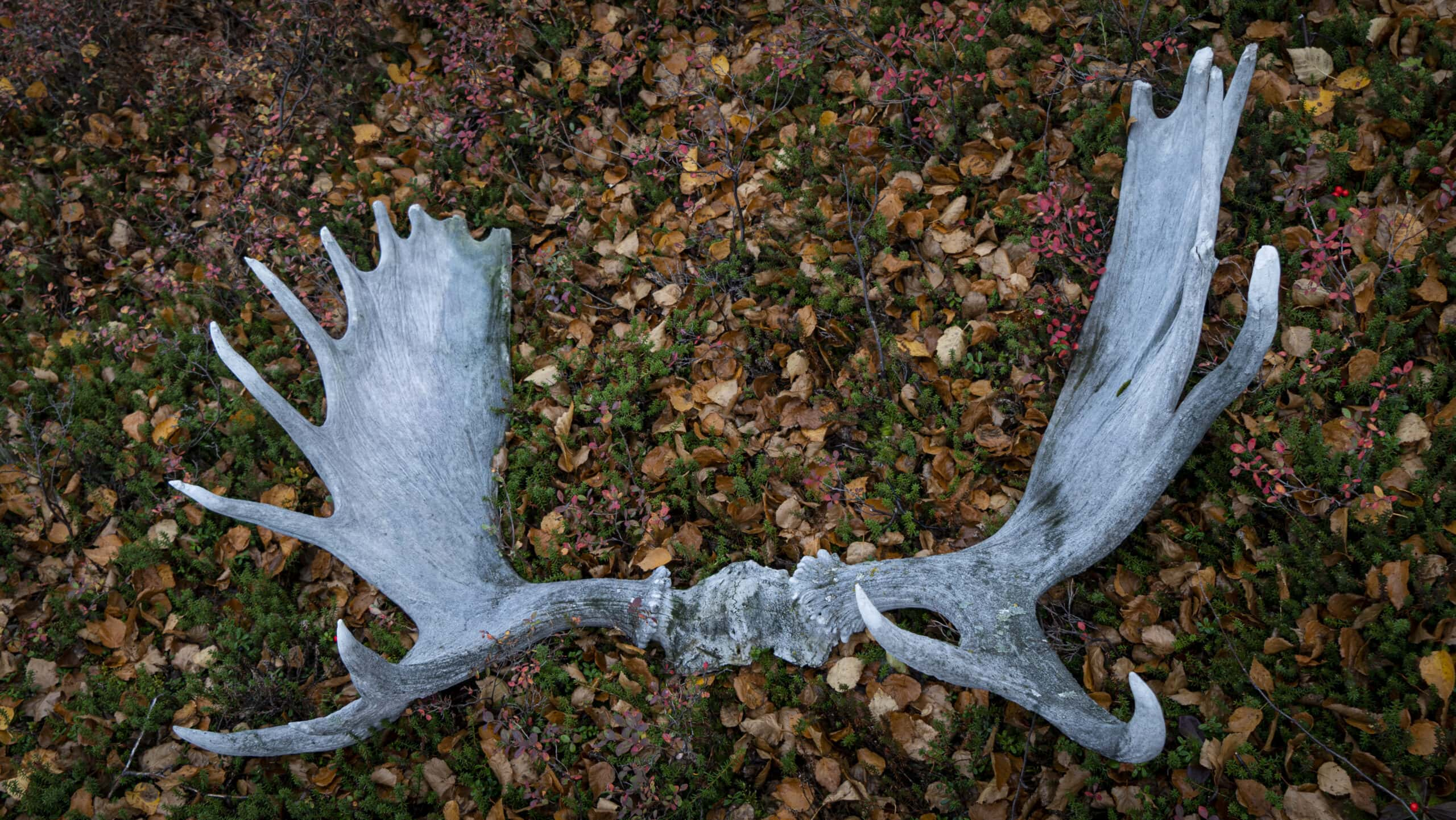 caribou antlers on the ground among fall leaves