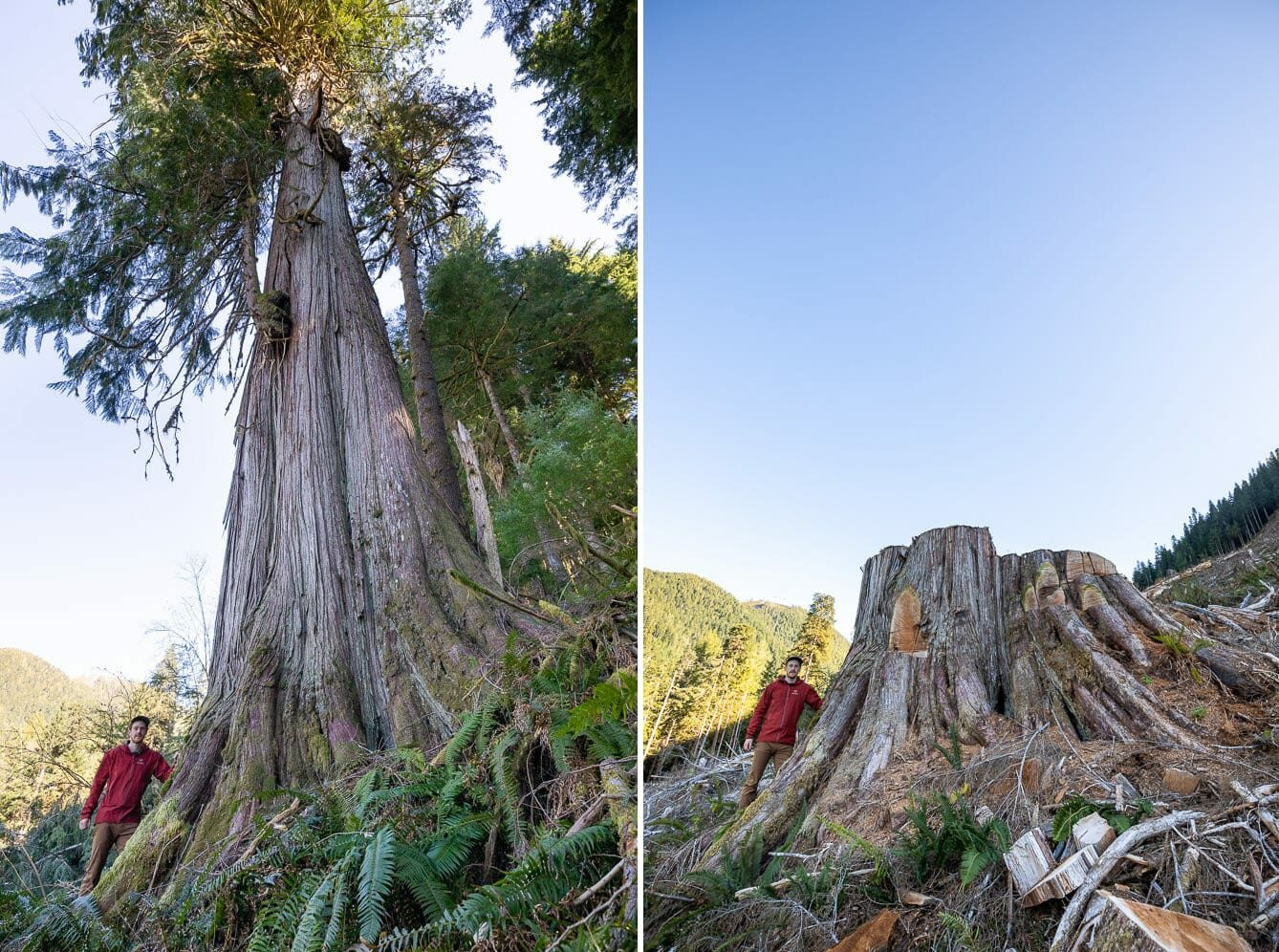 side by side comparisons of man standing by a large tree before and after it was cut down