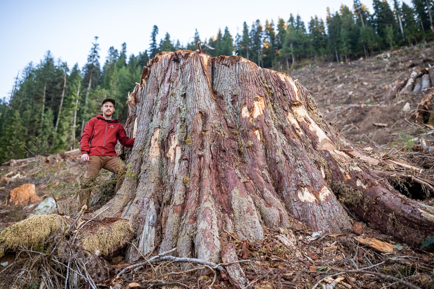 man standing next to trunk of giant ancient cedar after it was felled