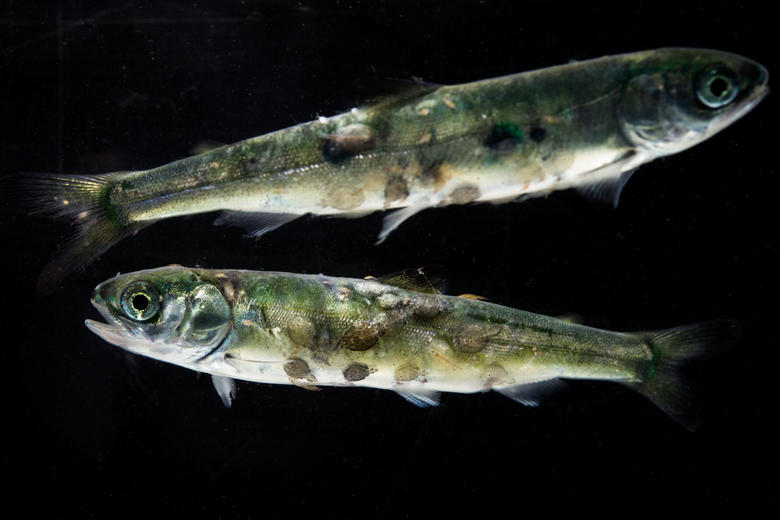 wild salmon with sea lice