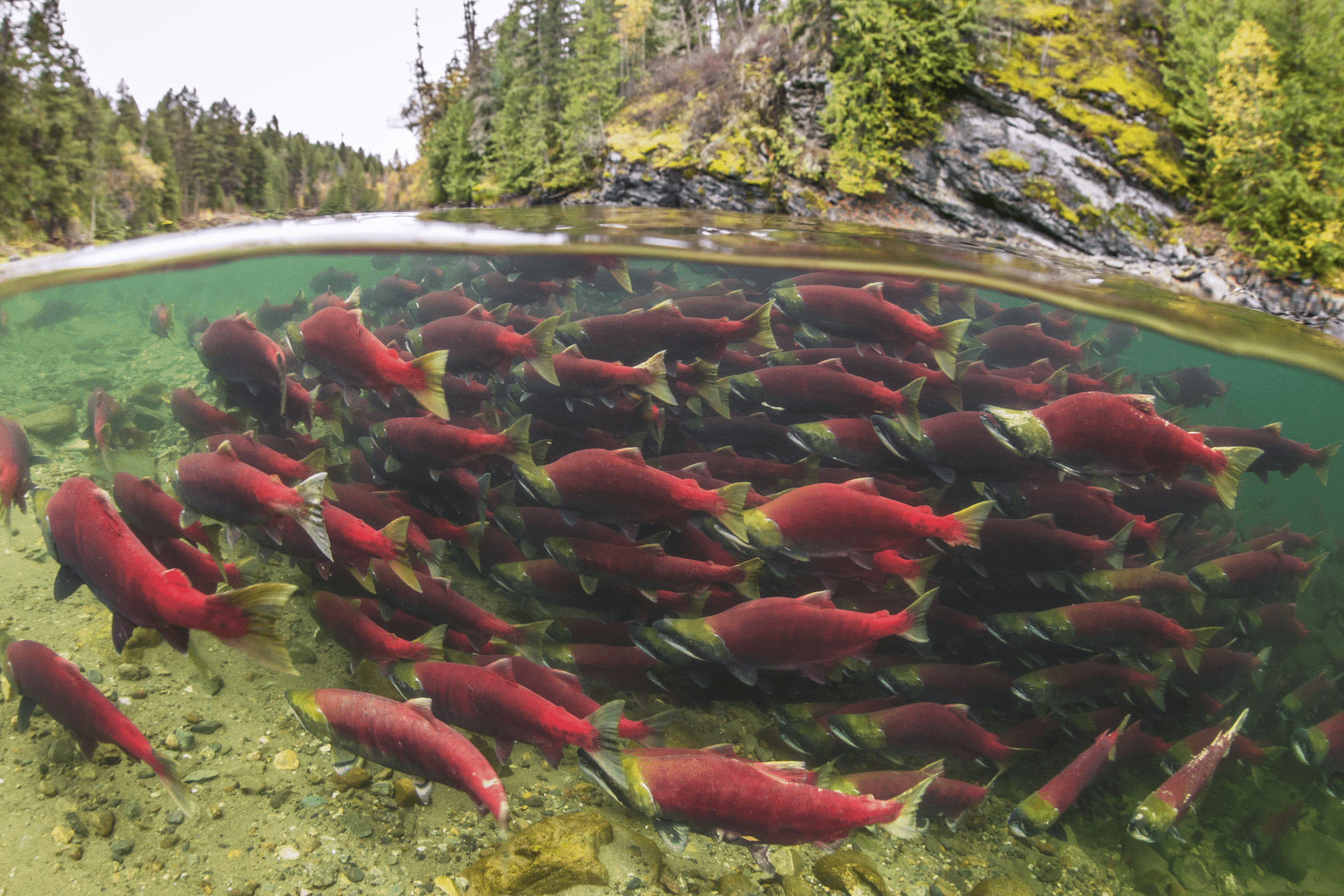 Wild sockeye salmon BC Tavish Campbell