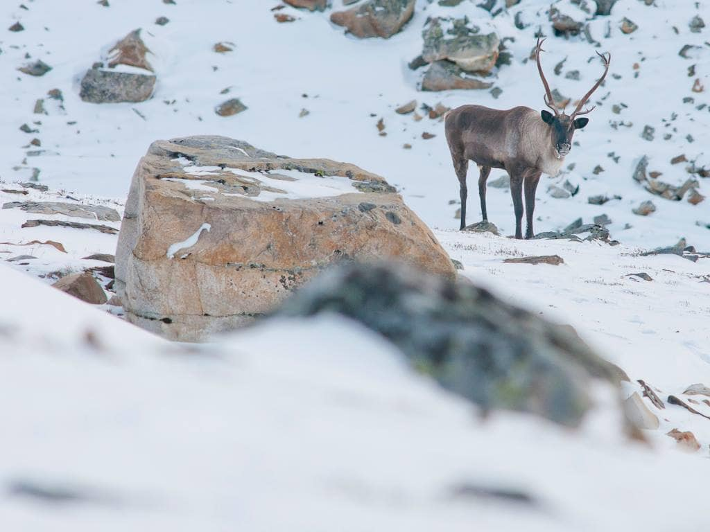 lone caribou surrounded by snow in Banff National Park