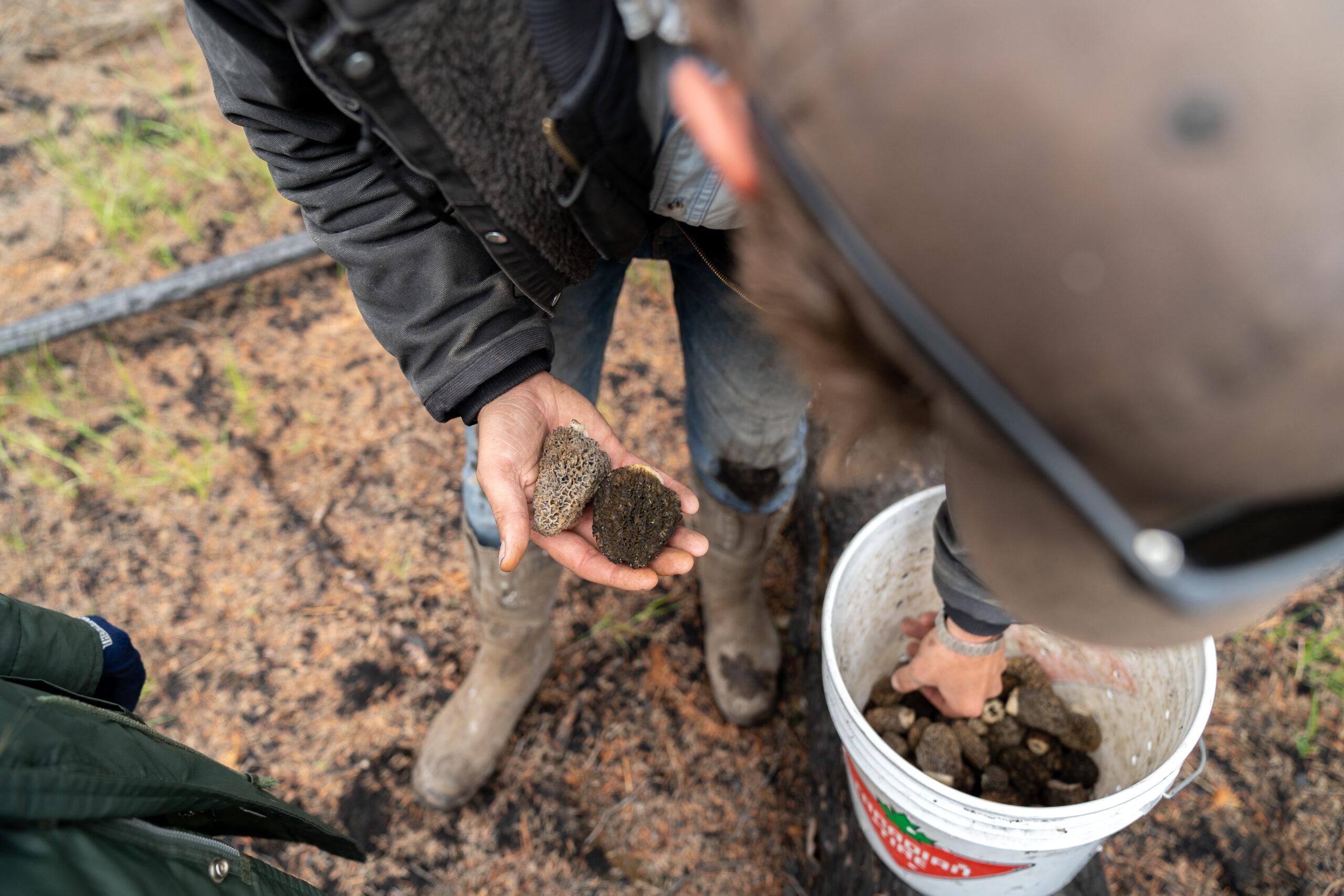 hand holding morel mushrooms next to a bucket full of mushrooms