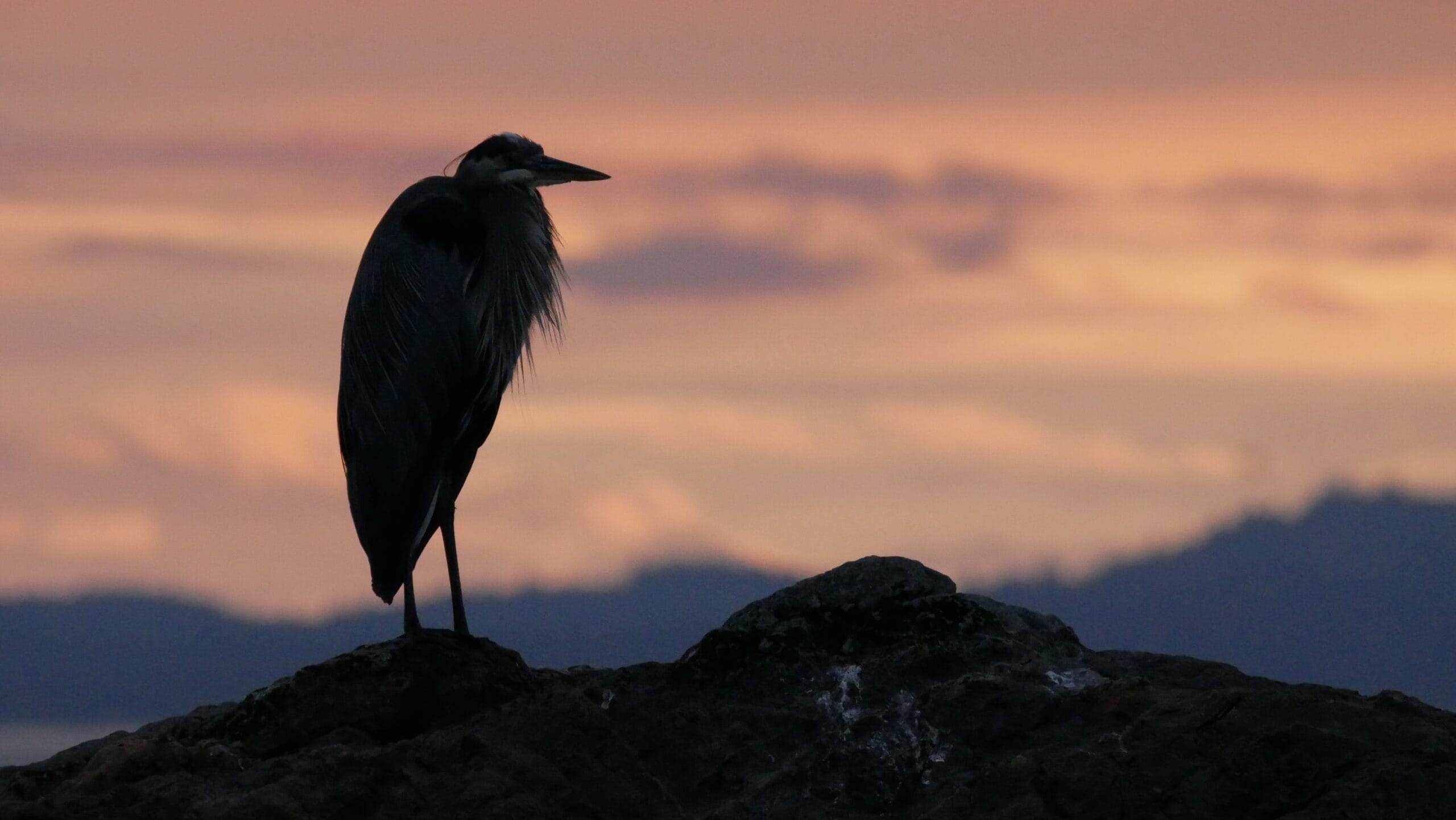 Great Blue Heron stands on a rock before a pink sky