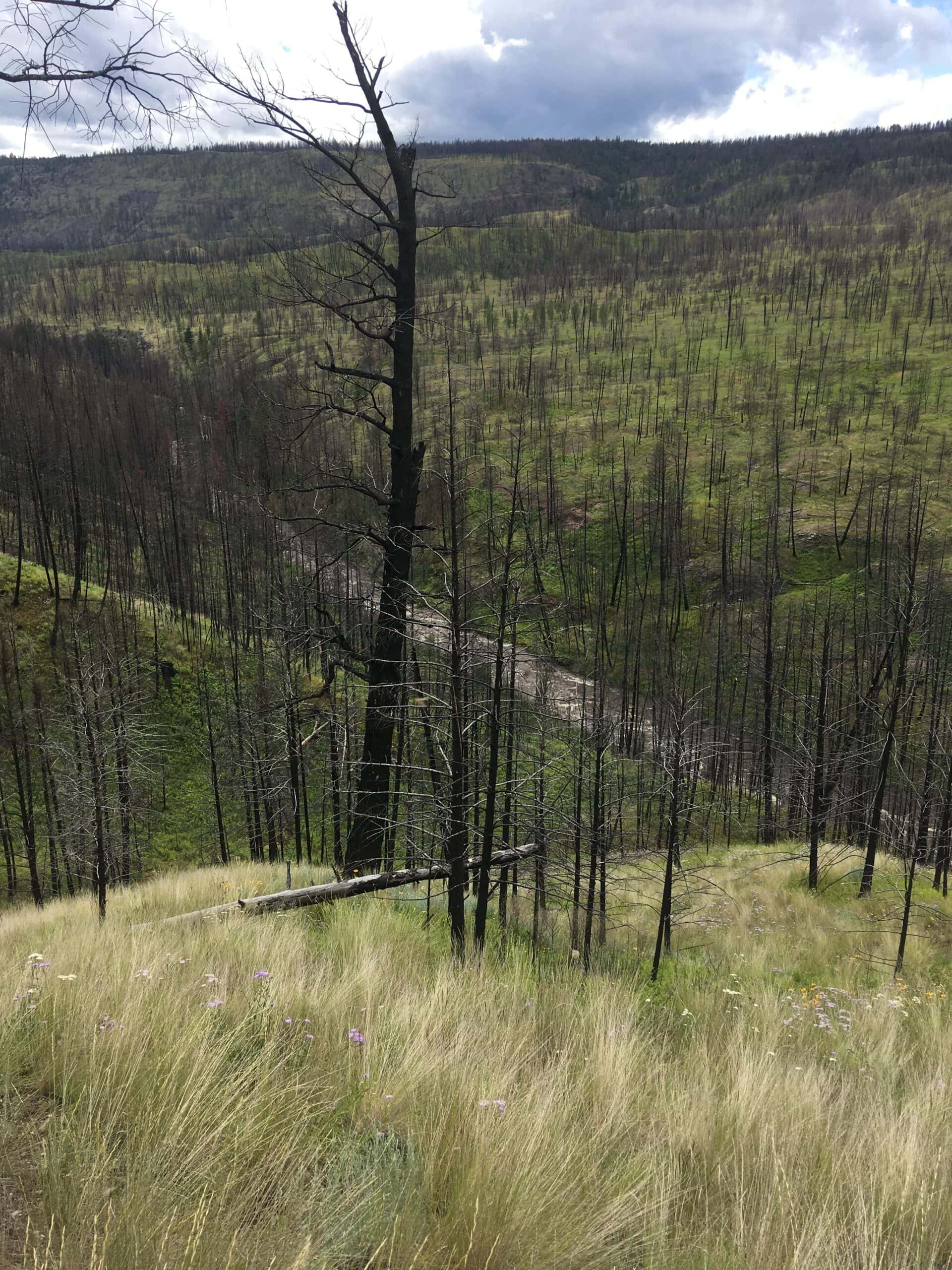 new grass in burned forest