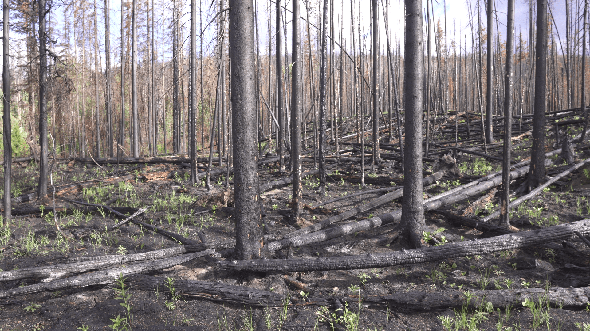 damaged trees in the Elephant Hill fire area