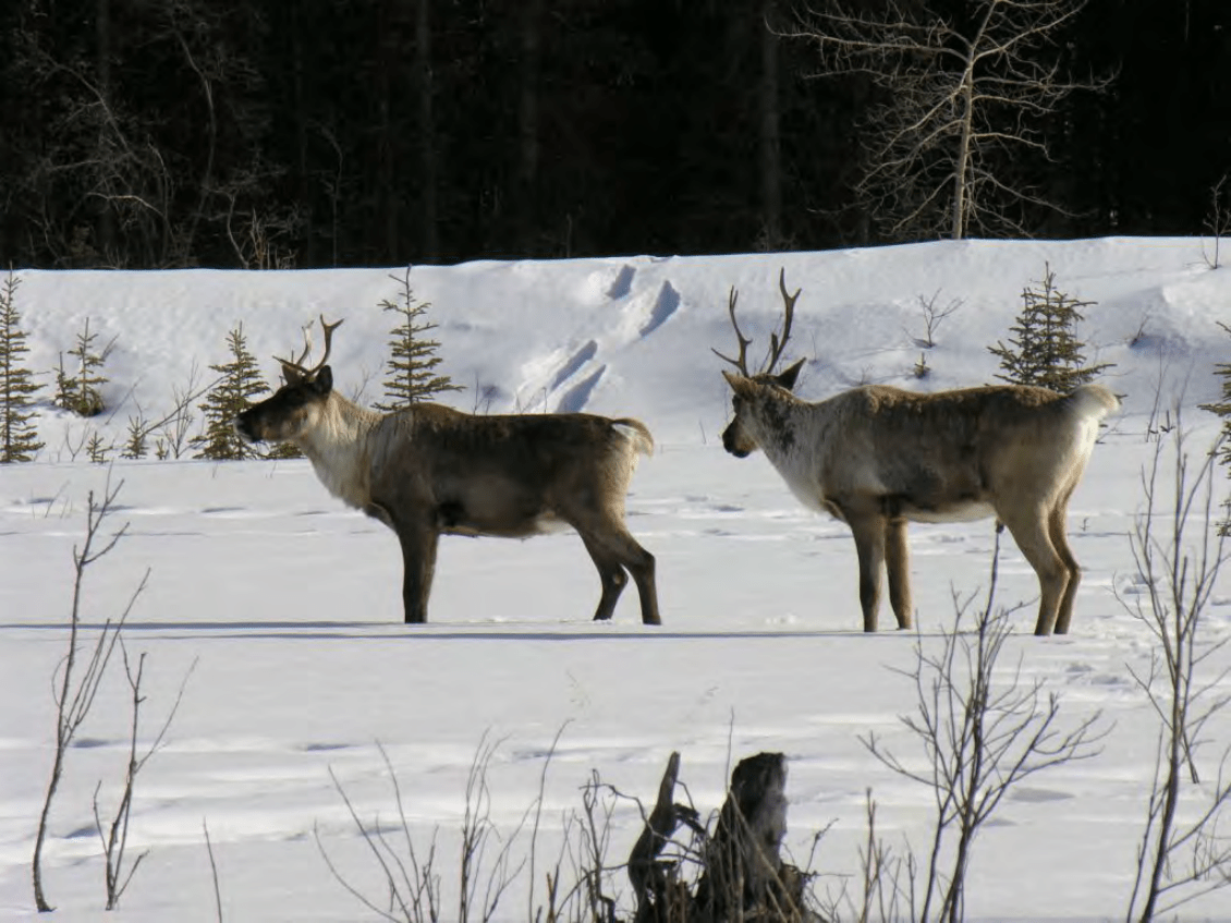 Finlayson Caribou Herd