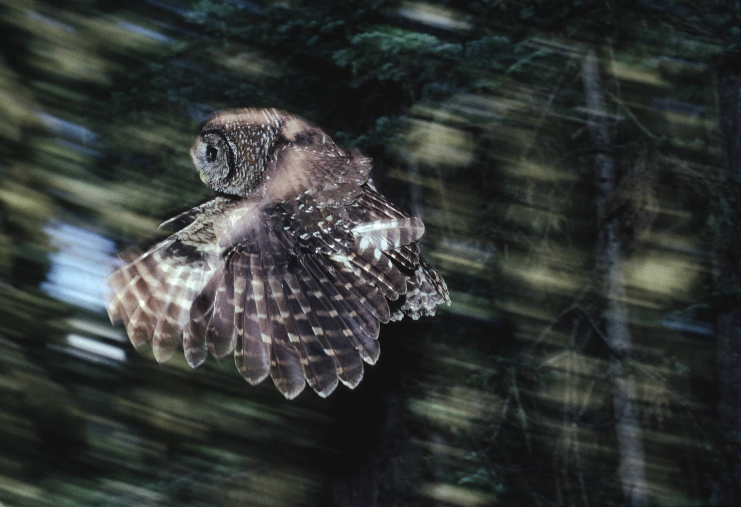 A Northern Spotted Owl flying in the Olympic National Forest in Washington.