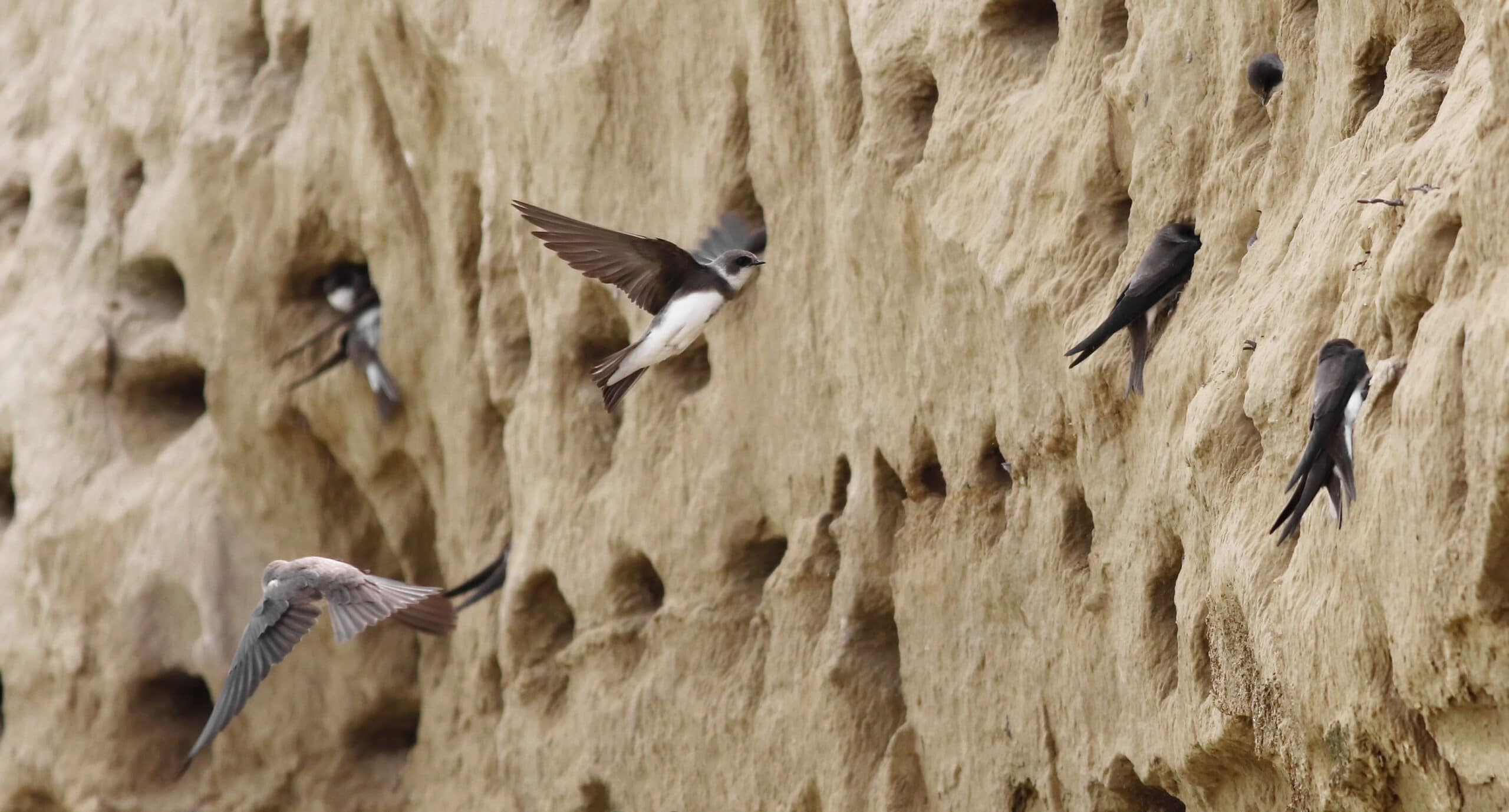 Colony,Of,Swallows,,Sand,Martin,Breeding,,Riparia,Riparia