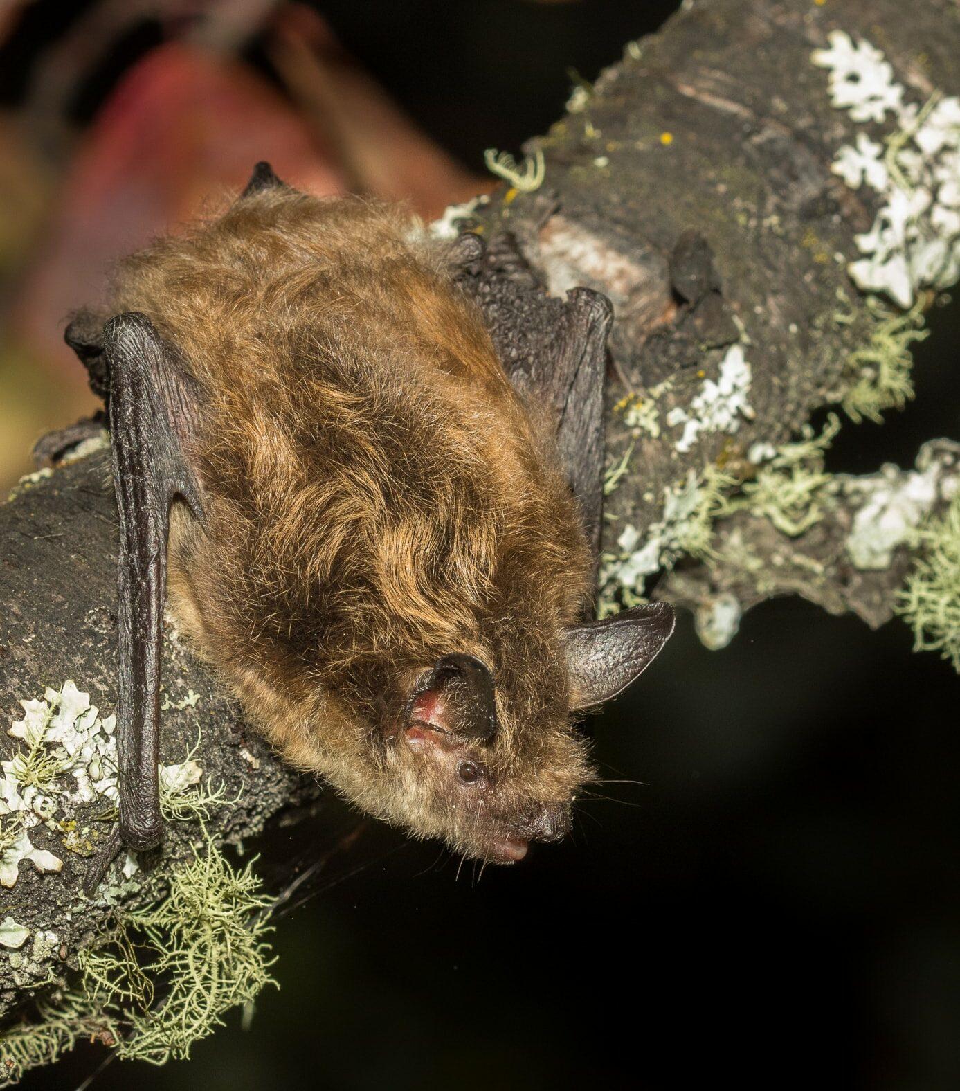 Endangered little brown myotis bat