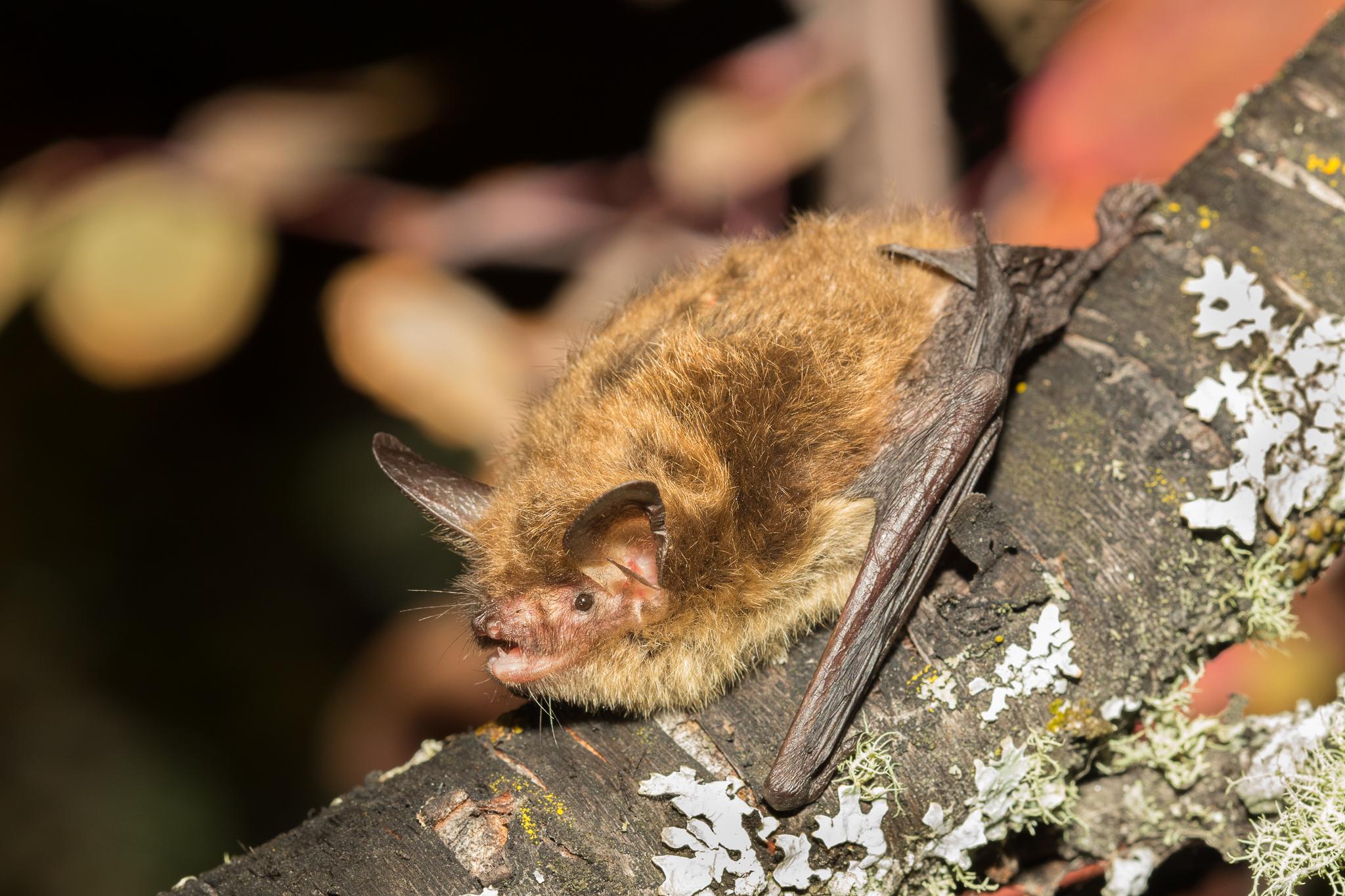 Endangered northern myotis bat