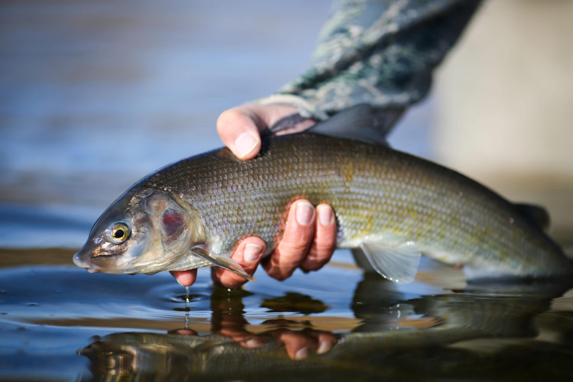 person holding whitefish above water