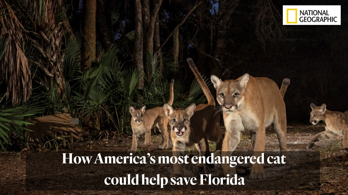 """""""How America's most endangered cat could help save Florida"""""""