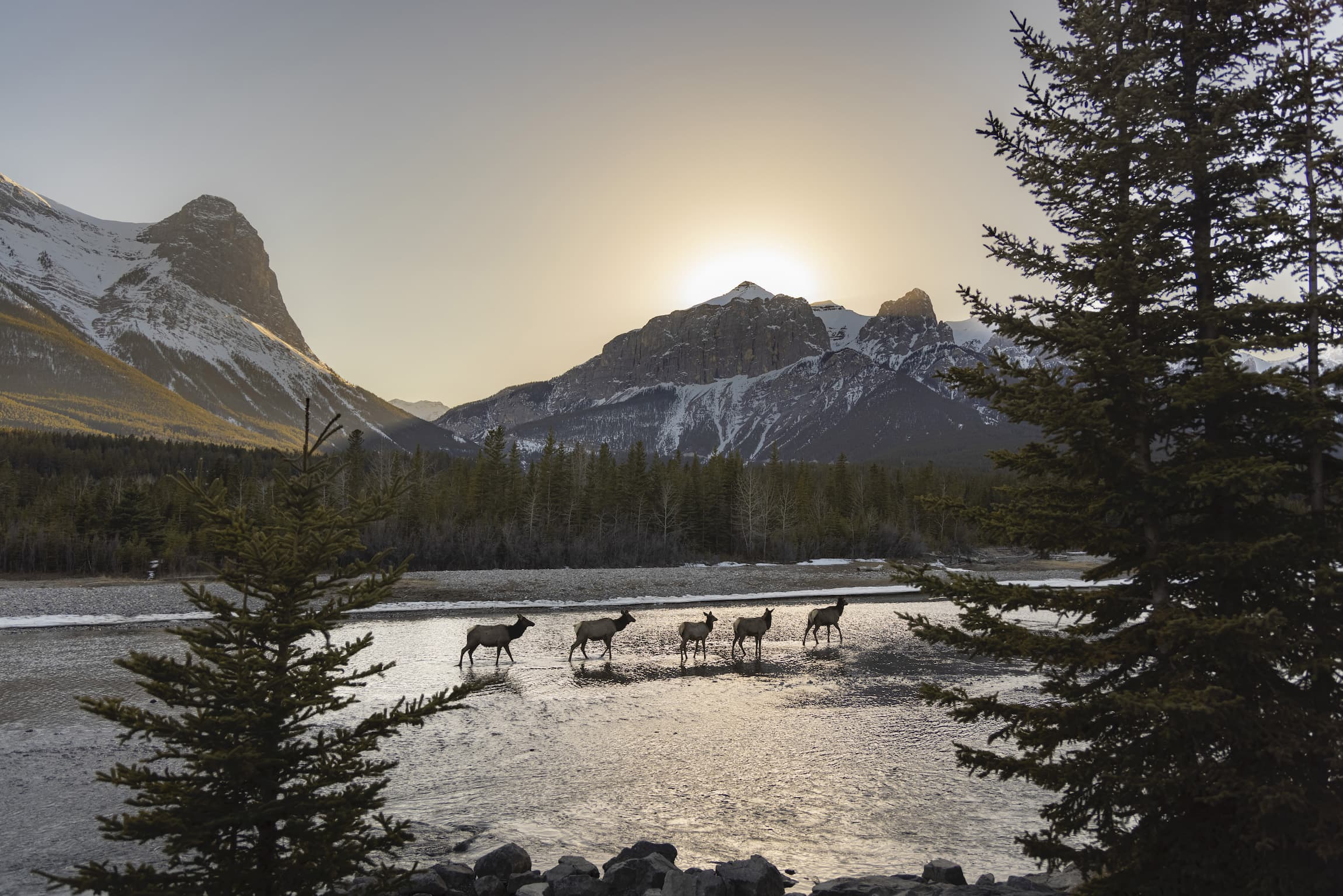 Canmore-Alberta-elk-Leah-Hennel-The-Narwhal
