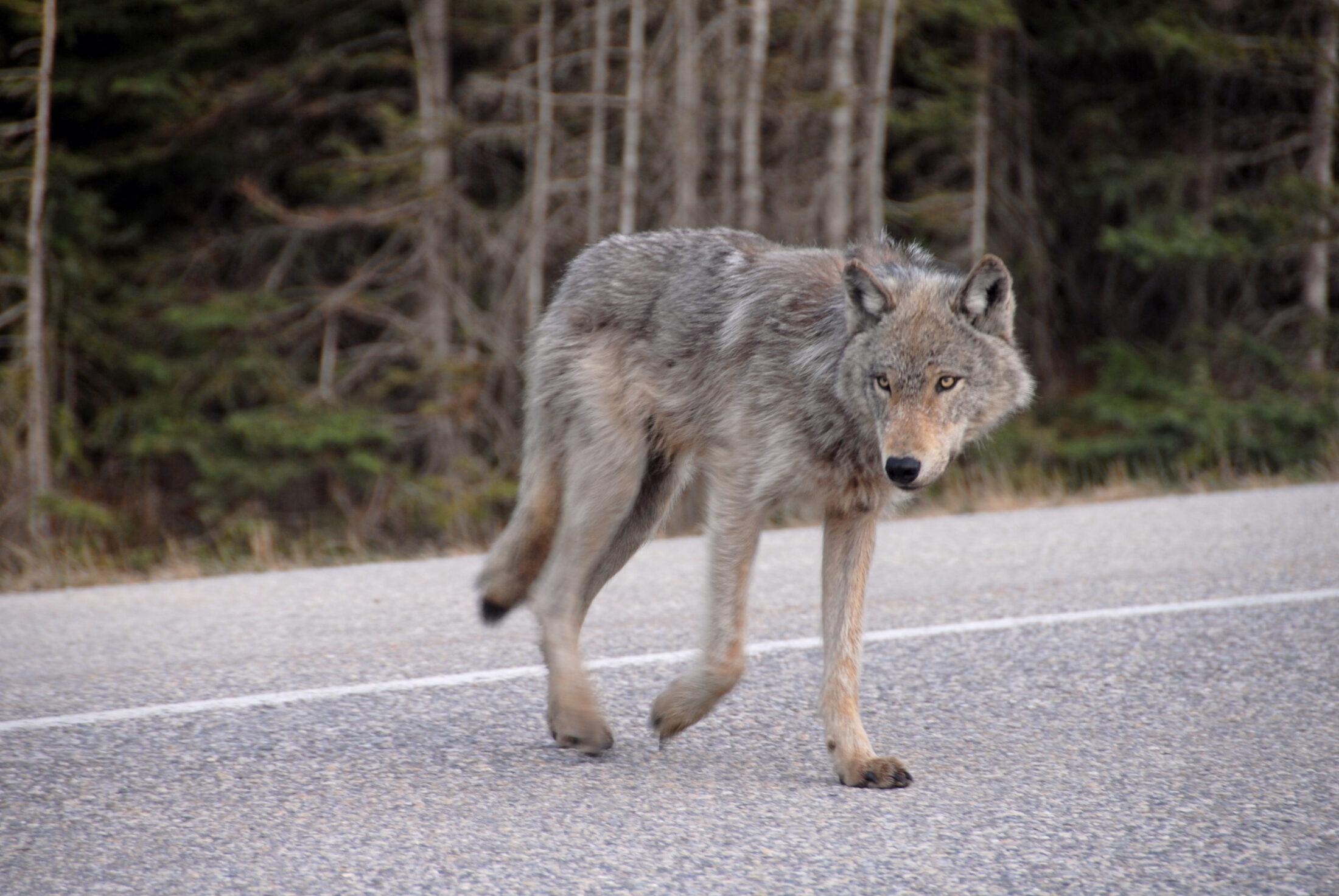 Y2Y wildlife crossing