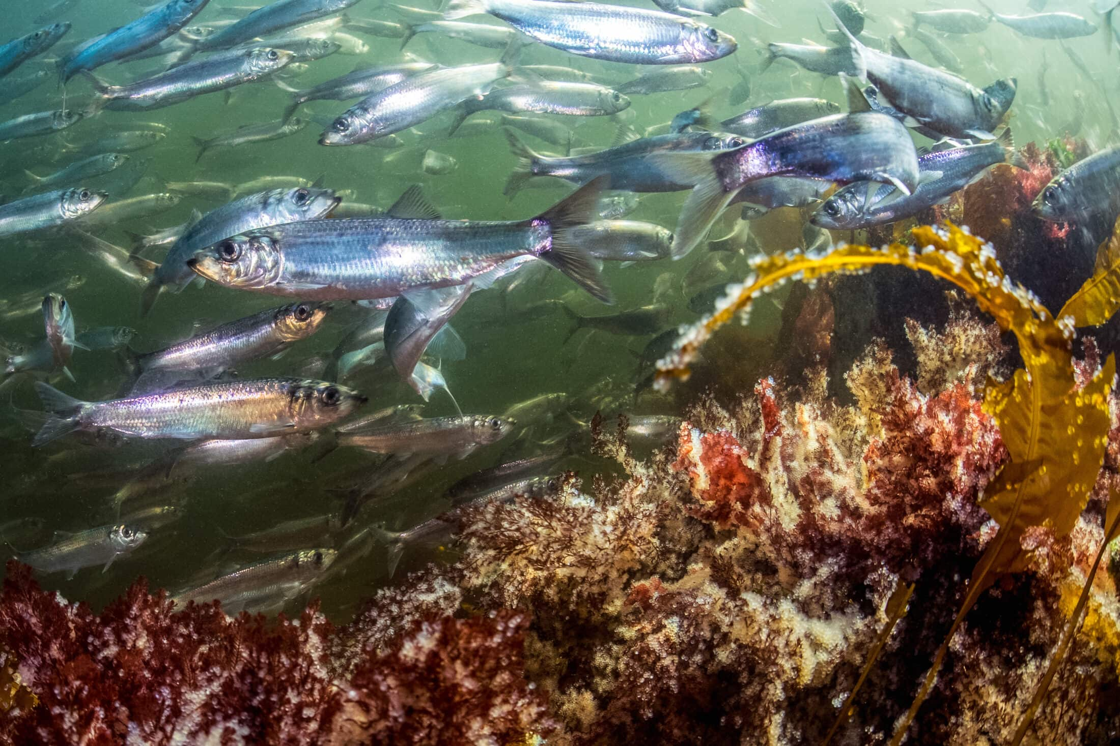 underwater view of Pacific herring