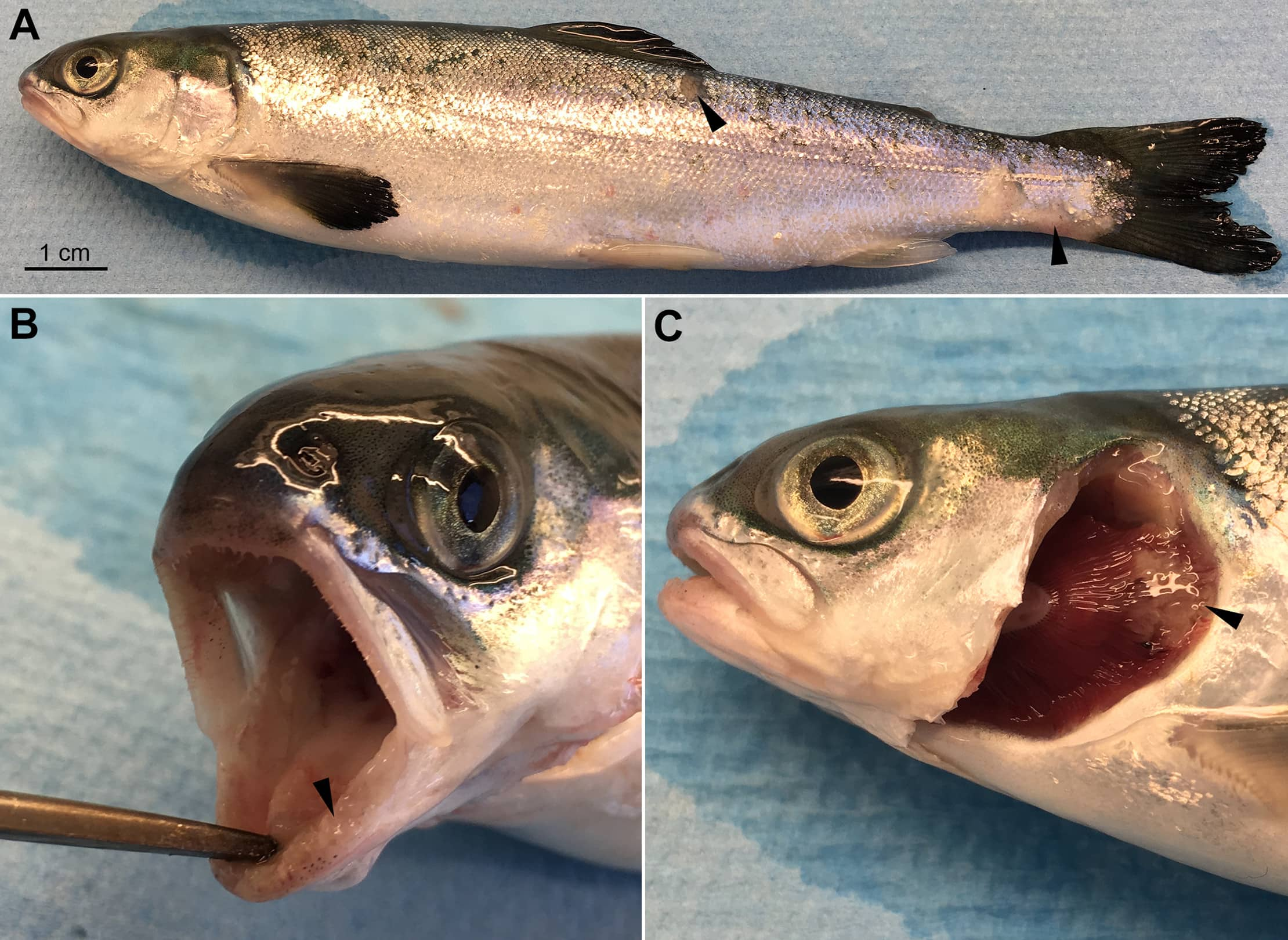 Images of an Atlantic salmon smolt infected with a bacteria found at B.C. salmon farms.