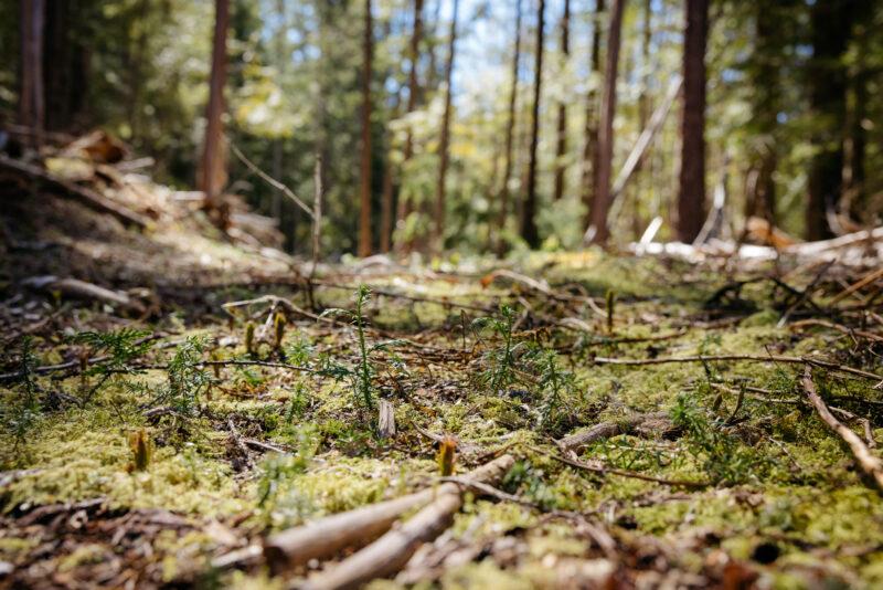 Kispiox cedar seedlings