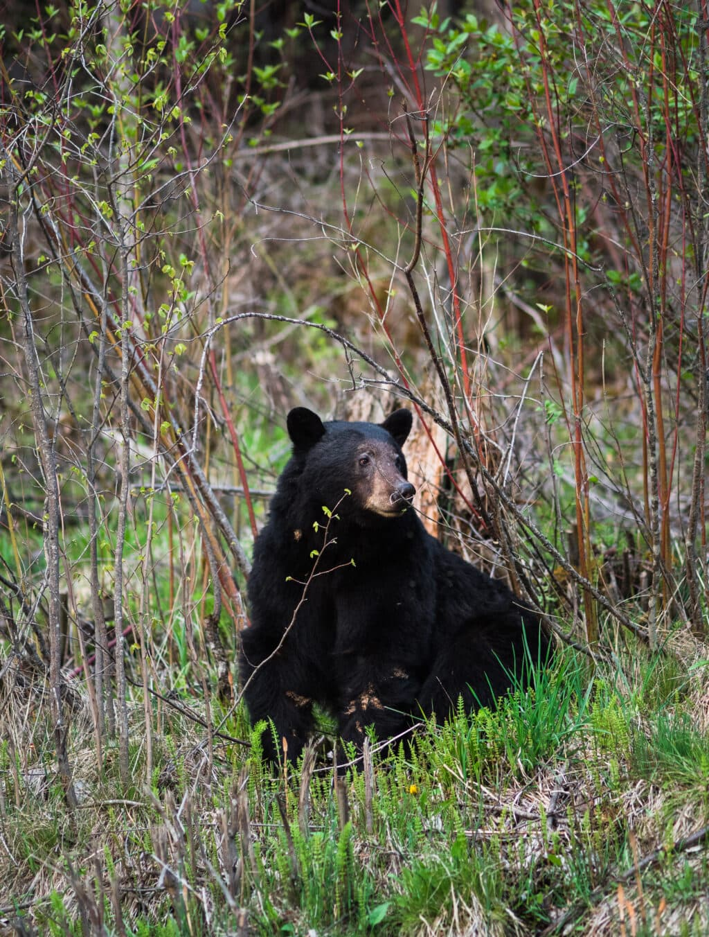 A black bear sits in some greenery