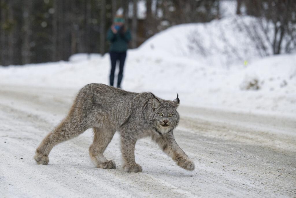 A furry animal crossing a snowy road