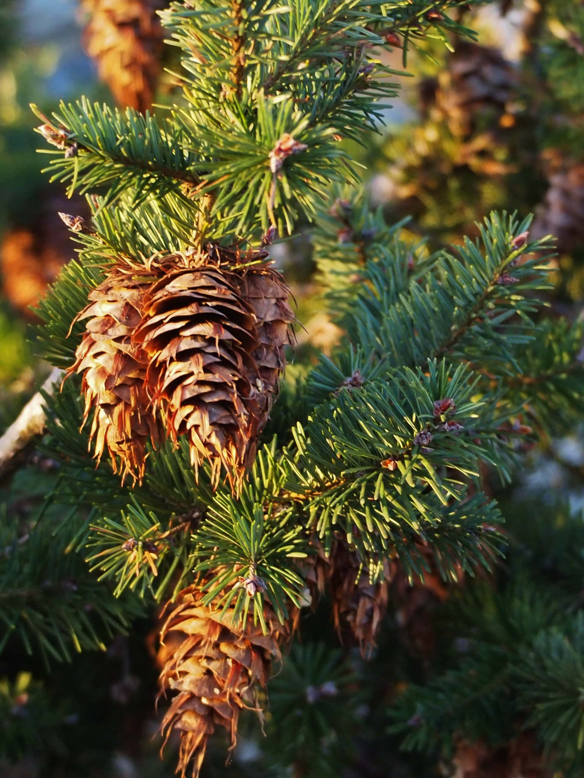 the cones of a Douglas fir tree hanging in green