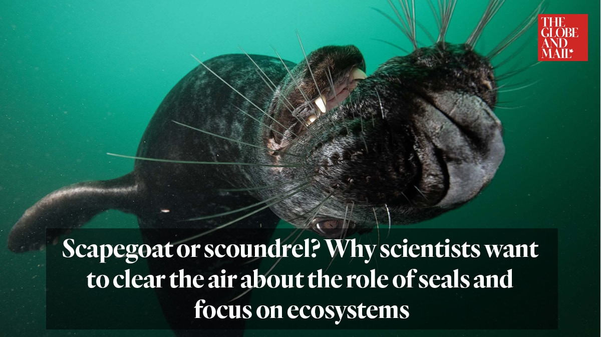 """""""Scapegoat or scoundrel? Why scientists want to clear the air about the role of seals and focus on ecosystems"""""""